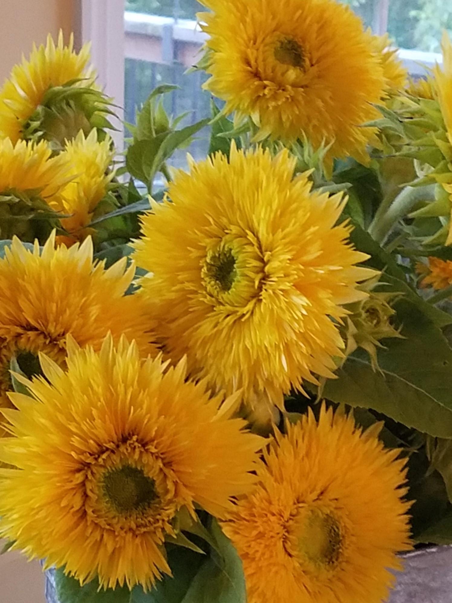 lemonade sunflower cropped
