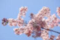 東北櫻花.jpg