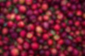 apple récolte