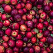 cosecha de apple