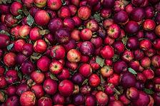 アップルの収穫