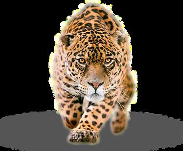 Jaguar png.png