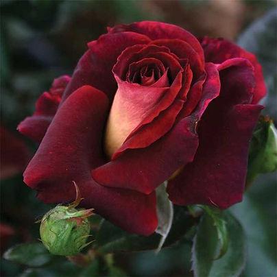 big rose.jpg