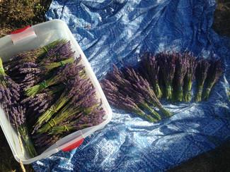 Sonoma Coast Lavender harvesting.jpg
