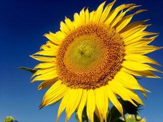 YES Sunflower fields near me.jpg