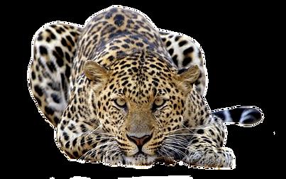 Jaguar-Photo-Background.png