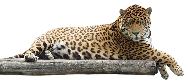 Jaguar laying down.png