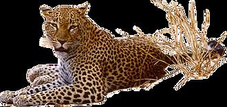 jaguaar 1.png
