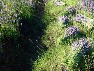 Lavender Harvesting.jpg