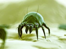 dust-mite1.jpg
