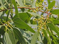 Eucalyptus Lemon Scented Gum