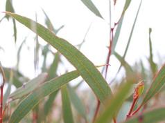 Eucalyptus Western Mallee