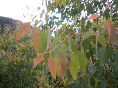 Eucalyptus Strawberry Gum
