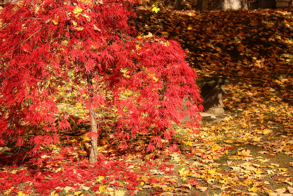 Red of a Japanese Maple