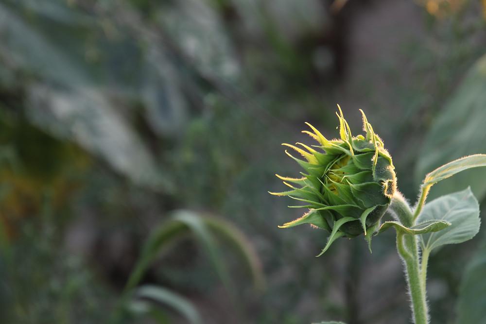 A Budding Blossom
