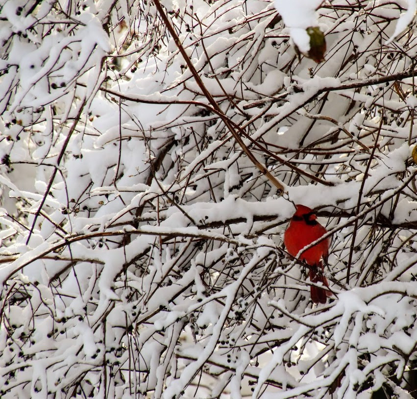 Cardinal Perched upon a Snowy Tree