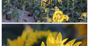 The Unbending Faith of The Sunflower