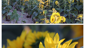 The Unbending Faith of The Sunflower