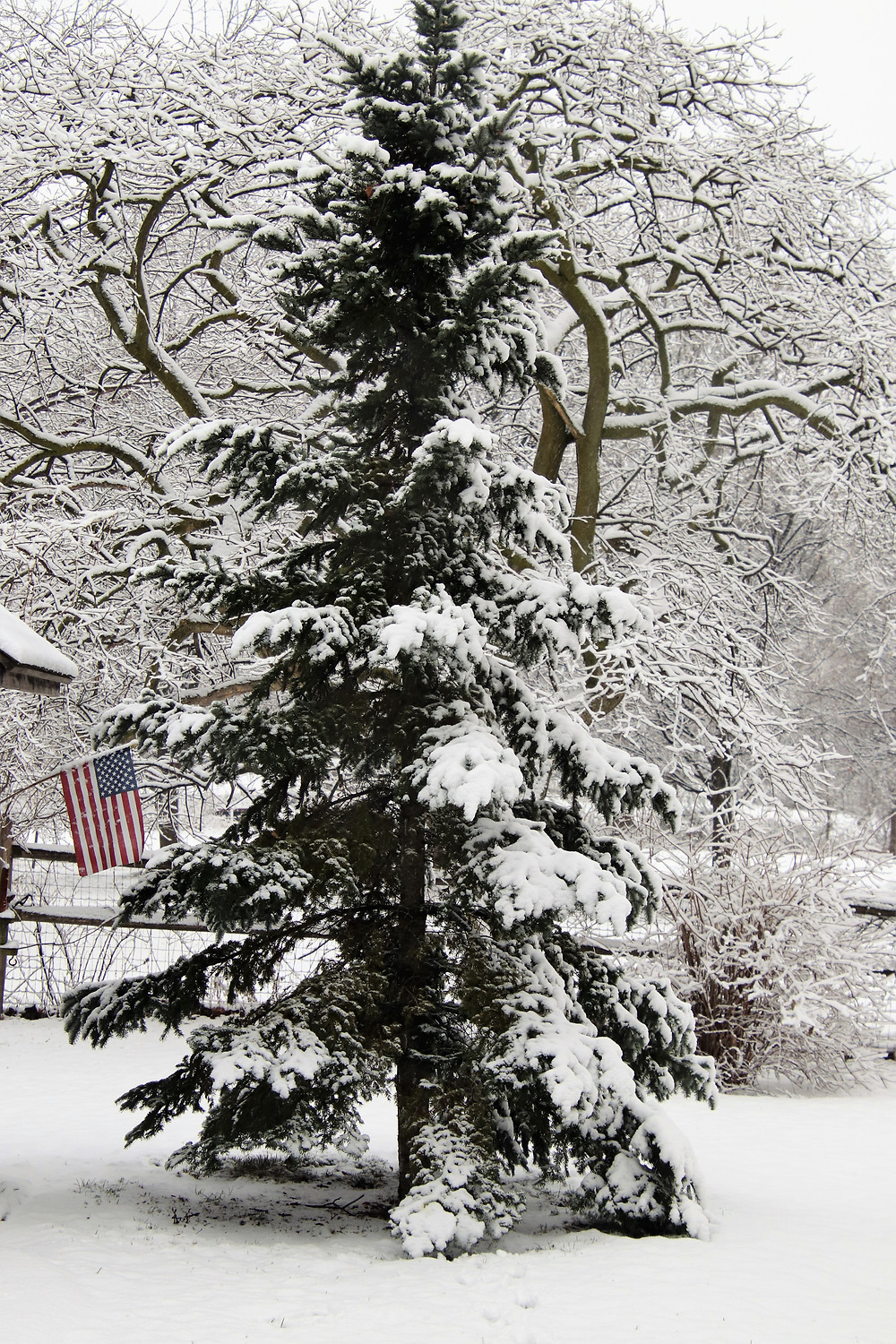 Old Glory Next to a Snowy Pine