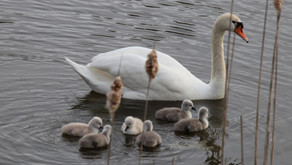 Swan Baby Finale Lake Alice, Waterport NY, May2020!