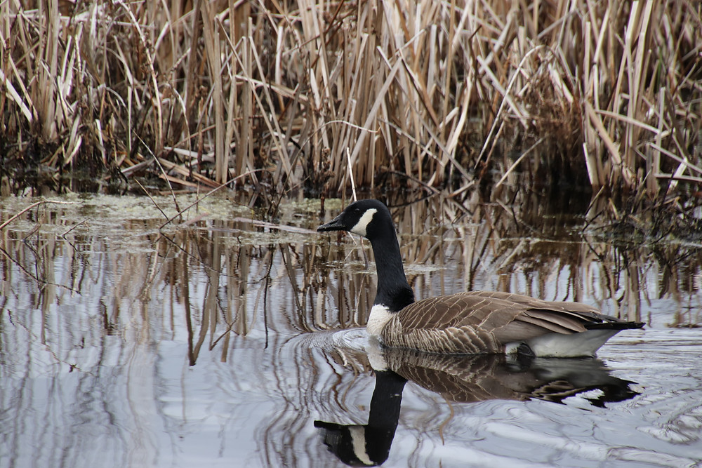 Geese reflection in the ripples