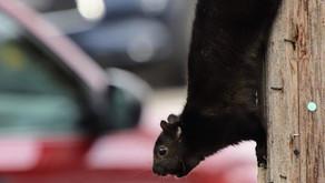 Lewiston NY Black Squirrel