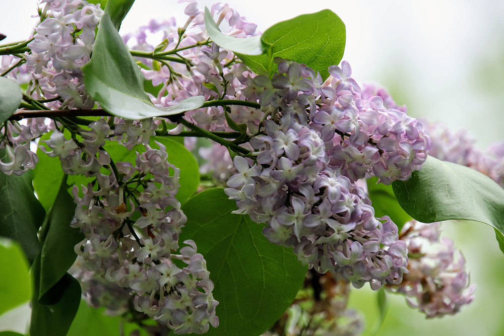 Beautiful Branch of Lilac