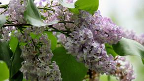 Lilacs In May 2020 Carlton, NY