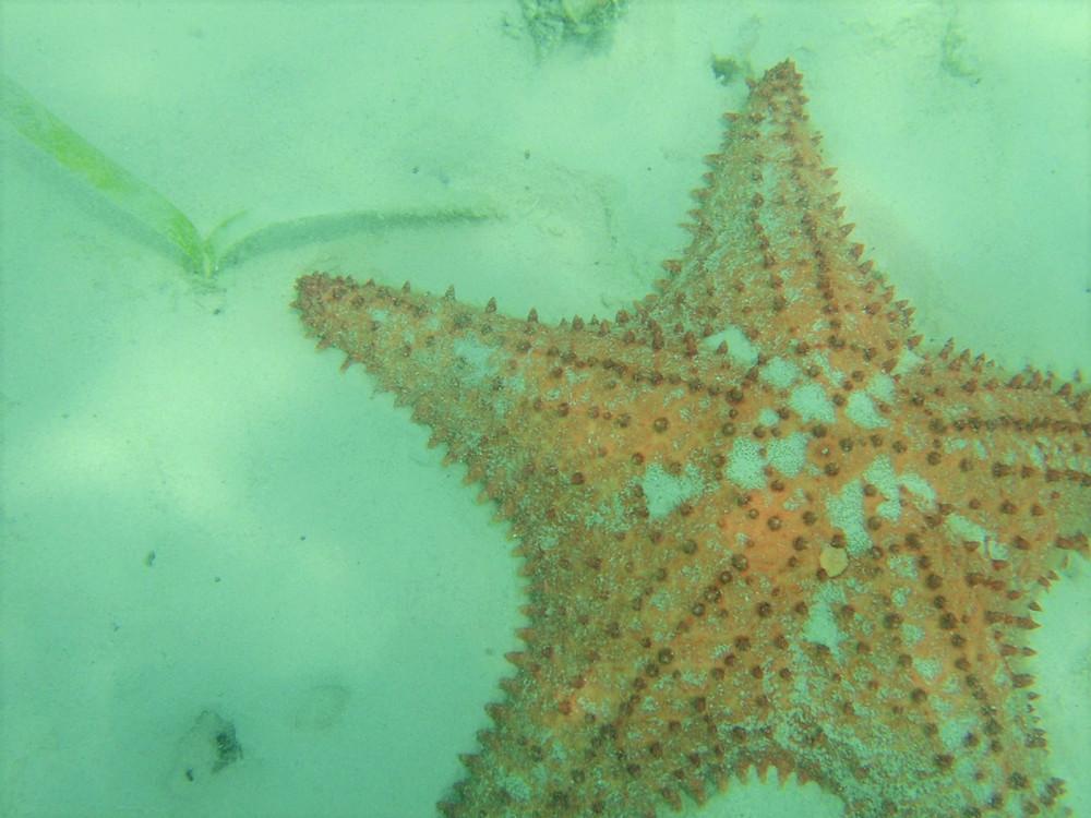 Starfish Aruba