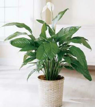 """8"""" Peace Lily (PBFS21)"""