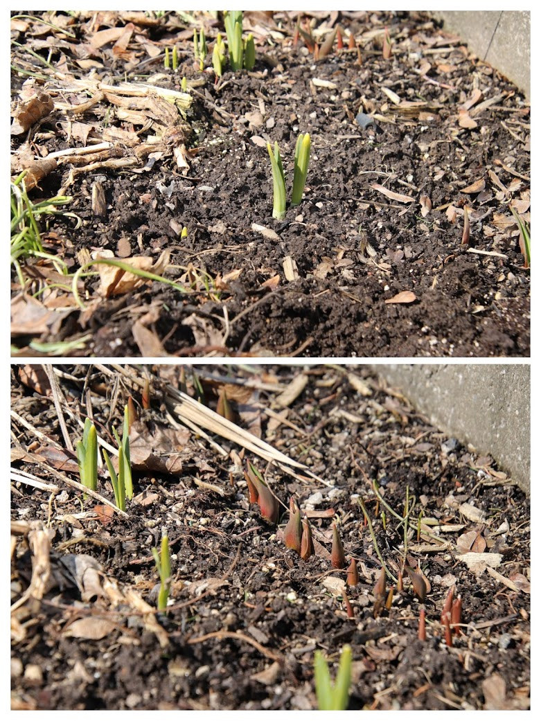 Bulbs peaking through the soil