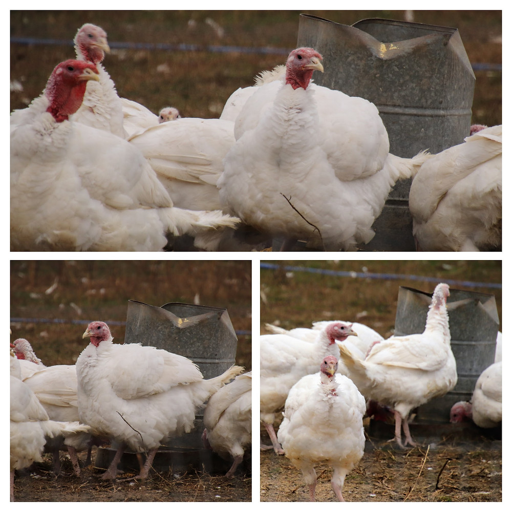 A Gathering of Turkeys