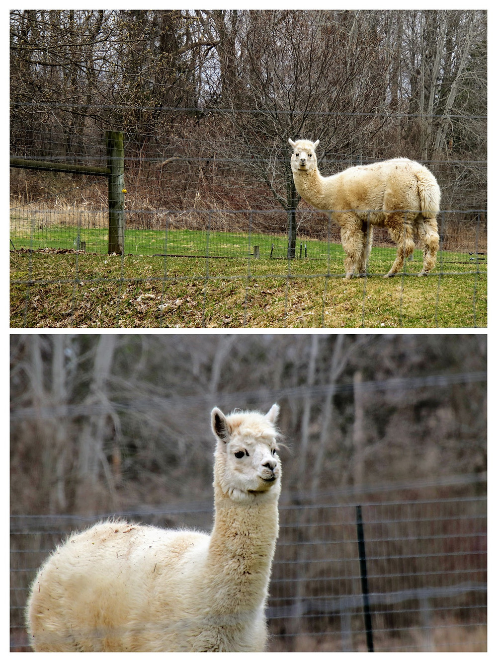 Alpaca Checking Me Out