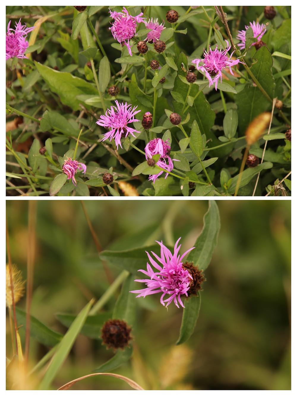 Veronia Ironweed