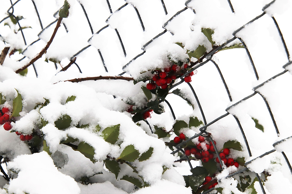 Holiday Holly in the Glistening Snow