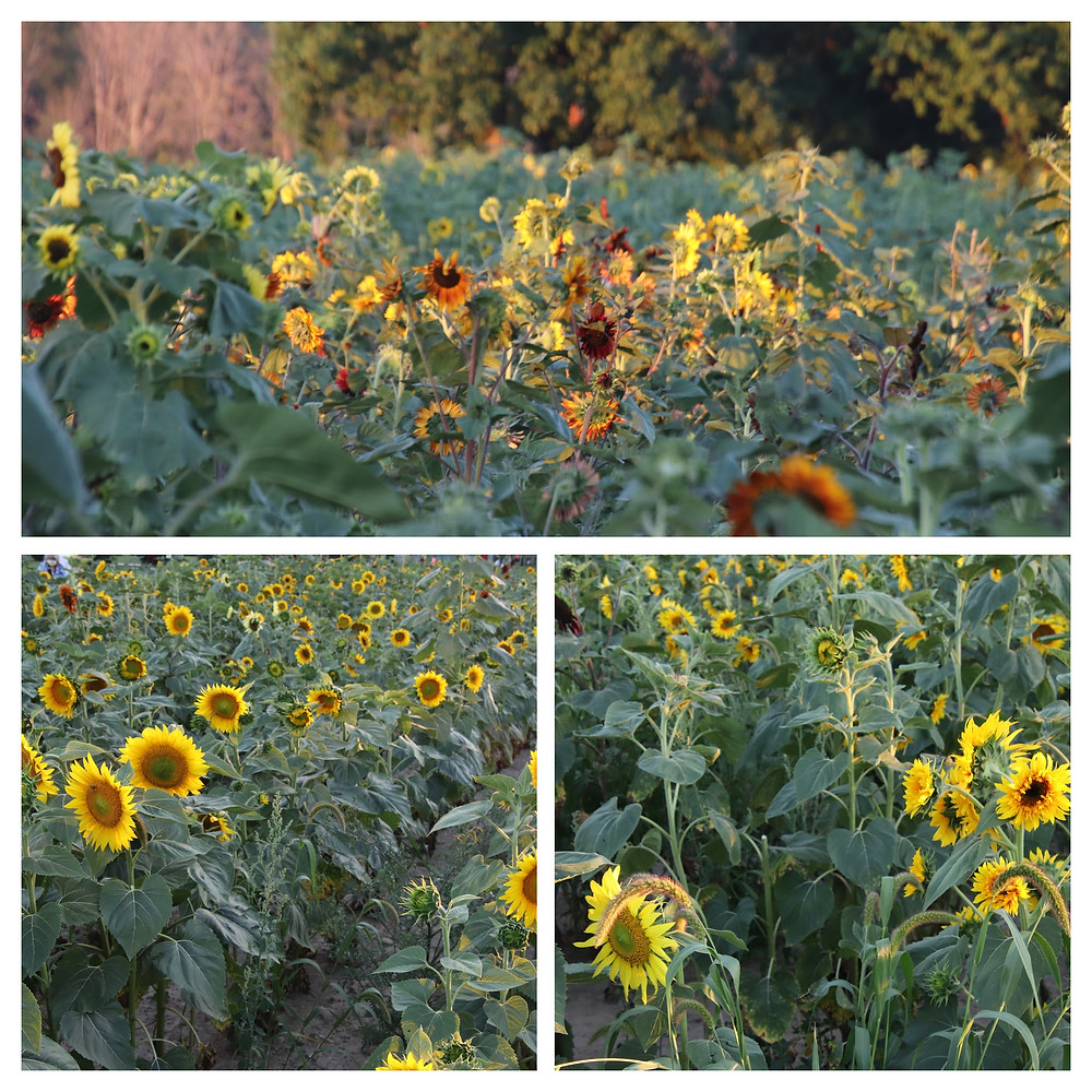 Sunflowers, Sunflowers, Sunflowers