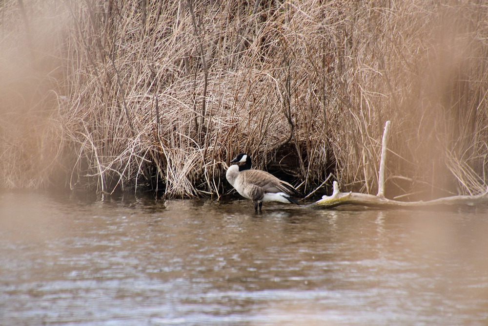 Geese puffs his chest through the brush