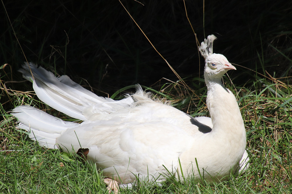 A White Peacock Sunbathing