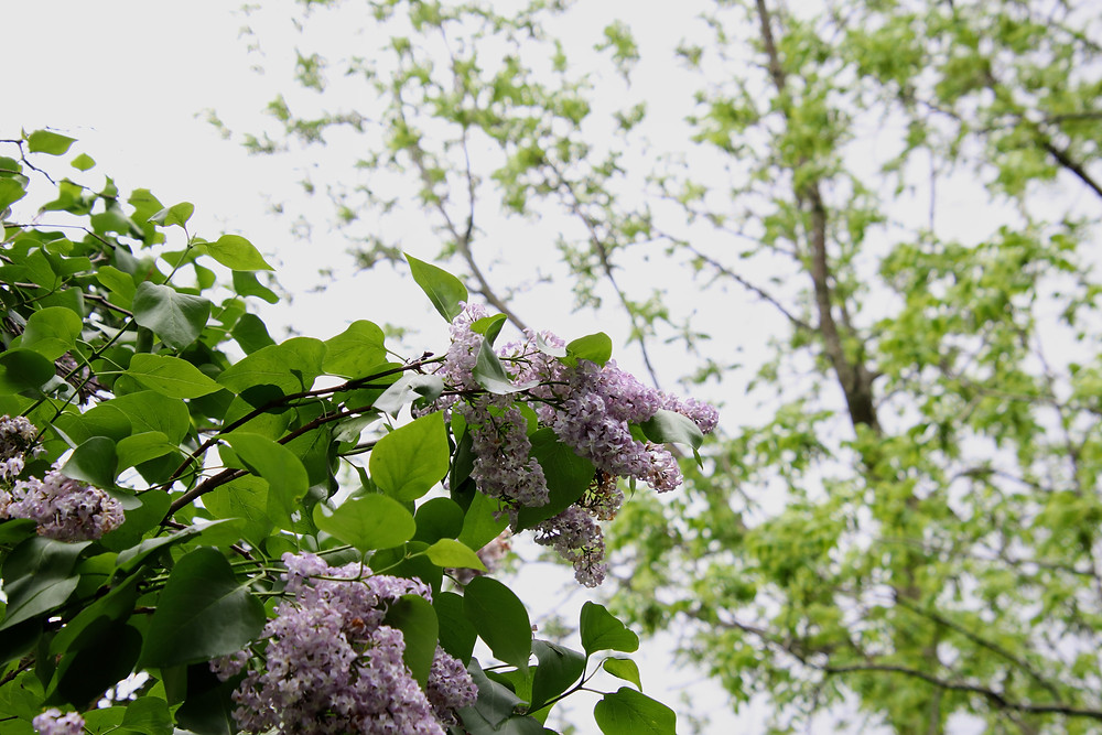 Lilacs Frame The Foreground