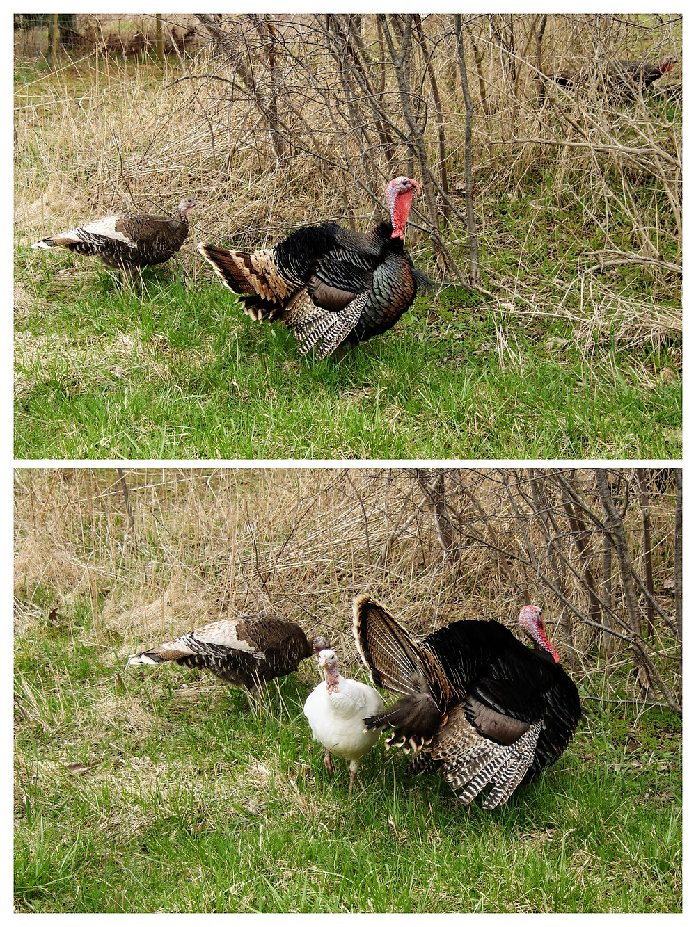 Turkeys Out Roosting