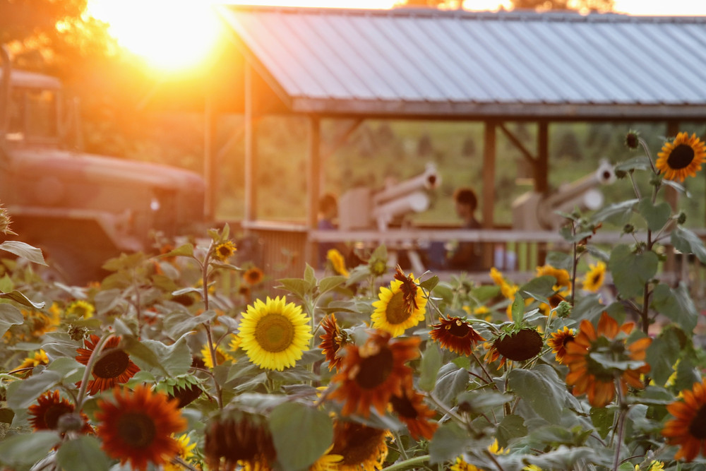 A Field of Sunflowers in the Sunset