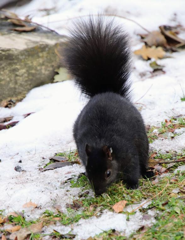 Beautiful Black Squirrel