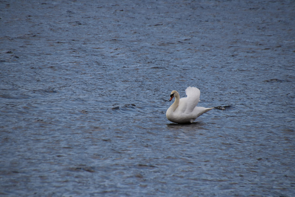Swan Perched Atop The Water