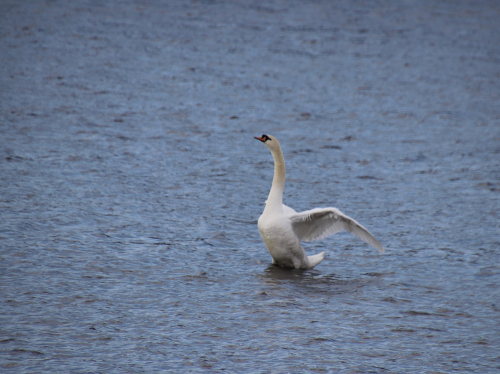 Swan Showing Off!