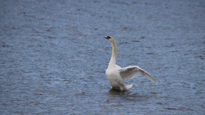 Swan Chronicles Part 3 (Part 2 is on FaceBook 5/11) Orleans County NY