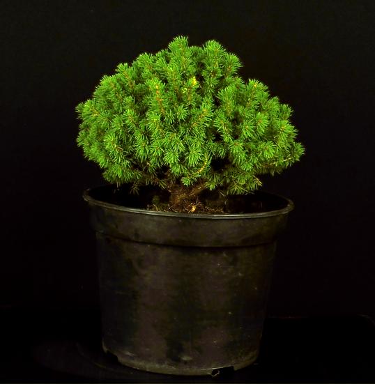 Picea Alberti Globe
