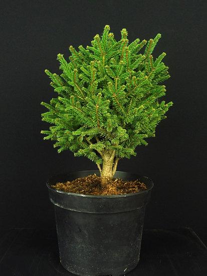 Picea Compacta