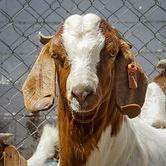 goat 1.jpg