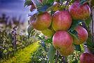 apples-490475_1920.jpg