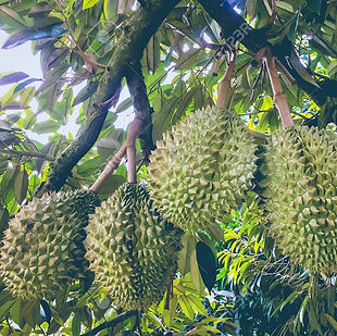 84780037-durian-tree-durians-are-the-kin